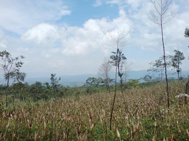 ladang jagung